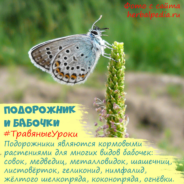 подорожник для бабочек