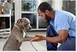 Los Pit-bulls son los perros más poderosos de todas las razas de perros, a pesar de su pequeño tamaño