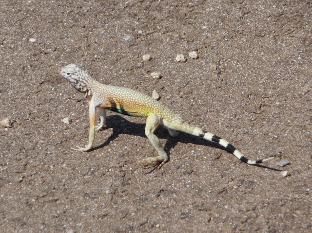 un zebratail lizard