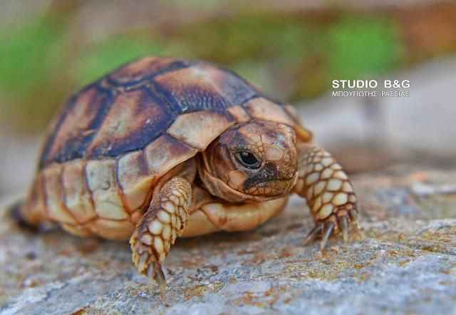 Ένα μικρό ντροπαλό χελωνάκι στο Ναύπλιο (βίντεο)