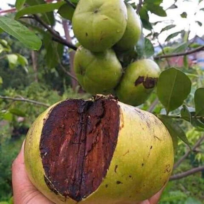 Bibit buah black sapote Banten