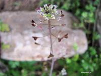 Αγριοκαρδαμούδα-Capsella bursa-pastoris