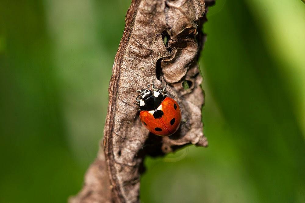 7 Spot Ladybird - Great Holm, Milton Keynes