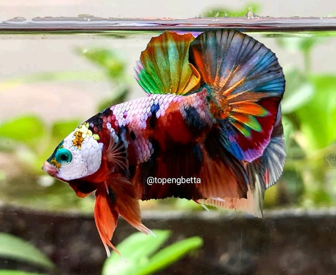 Ikan Cupang Multicolor - Multicolor Betta - Ikanhiasku.net
