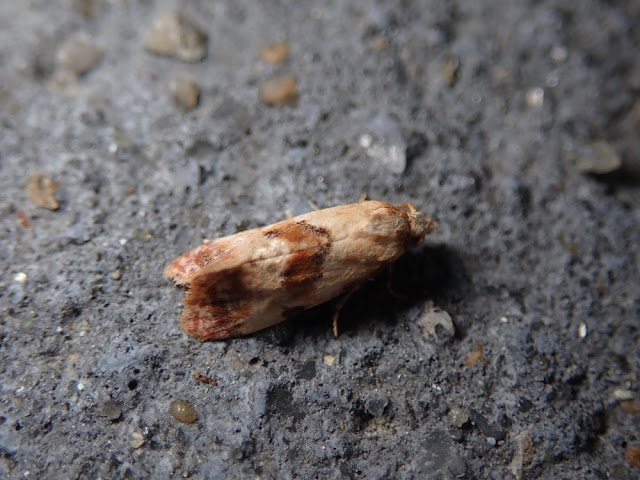 Neocochylis sannatica