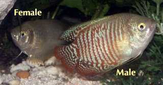 Dwarf Gourami Gender Discrimination