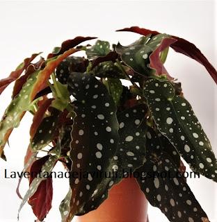 begonia-maculata-var-maculata