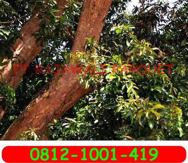 pohon kayu rengas