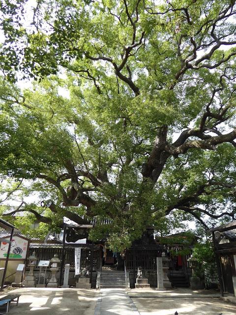 【大阪府門真市】三島神社の薫蓋樟(くんがいしょう)