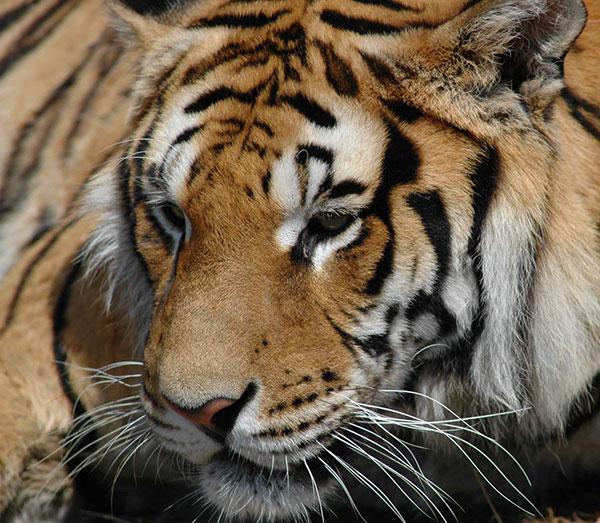 Tiger photo gallery sher bagh ka photo