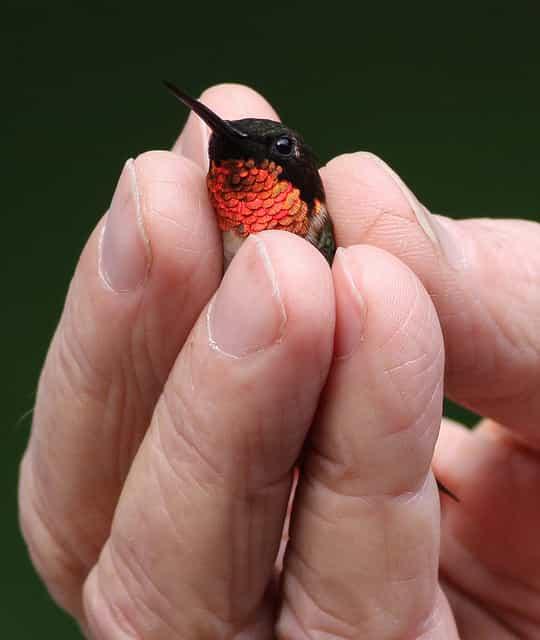اصغر حيوانات في العالم,اصغر, اصغر حيوان في الارض,اصغر حيوان بري,اصغر الطيور الطنانة,اصغر طائر في العالم,اصغر طائر يطير,