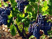 grožđe vinograd Bol slike otok Brač Online