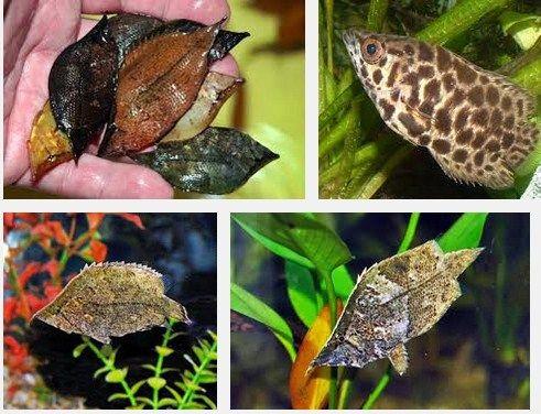 Ini Dia Tips Cara Mengenal Ikan Daun Air Tawar yang Unik dan Cantik