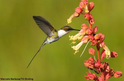 Beija-flor, polinização, natureza, birds, flores, beija flor poliniza flores, animais polinizadores, natureza, curiosidades, animais fantásticos