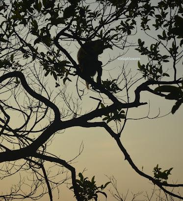 Monyet liar di bayang senja Gunung Lembu | JelajahSuwanto