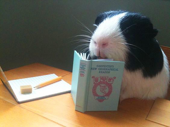 Cavia aan het lezen