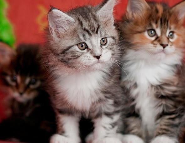 fotografias de gatitos tiernos