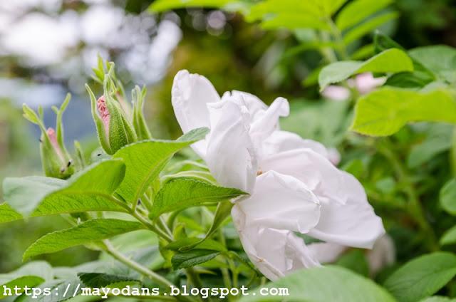 Wildrose Apfelrose