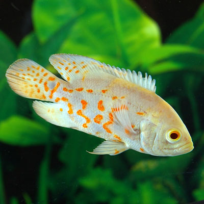 Freshwater Aquarium Fish For Sale Best Living Home Inspiration
