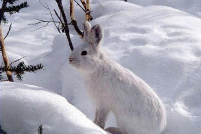 Snowshoe Hare Photo