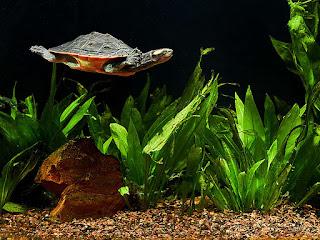 kura-kura-bersama-ikan.jpg