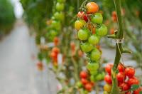 peluang usaha pertanian, usaha pertanian, bisnis pertanian, usaha hidroponik, tanaman hidroponik, hidroponik, bisnis tanaman hidroponik, budidaya hidroponik