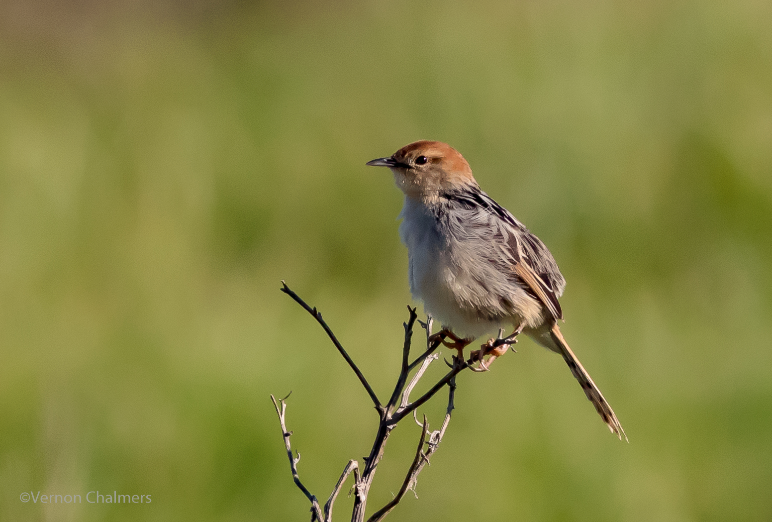 Vernon Chalmers Photography: Small Birds with Birds in ...