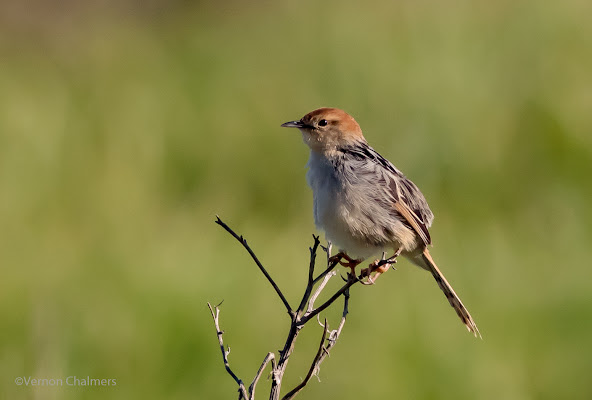 Levaillant's Cisticola - Perched Bird Photography - Table Bay Nature Reserve Woodbridge Island