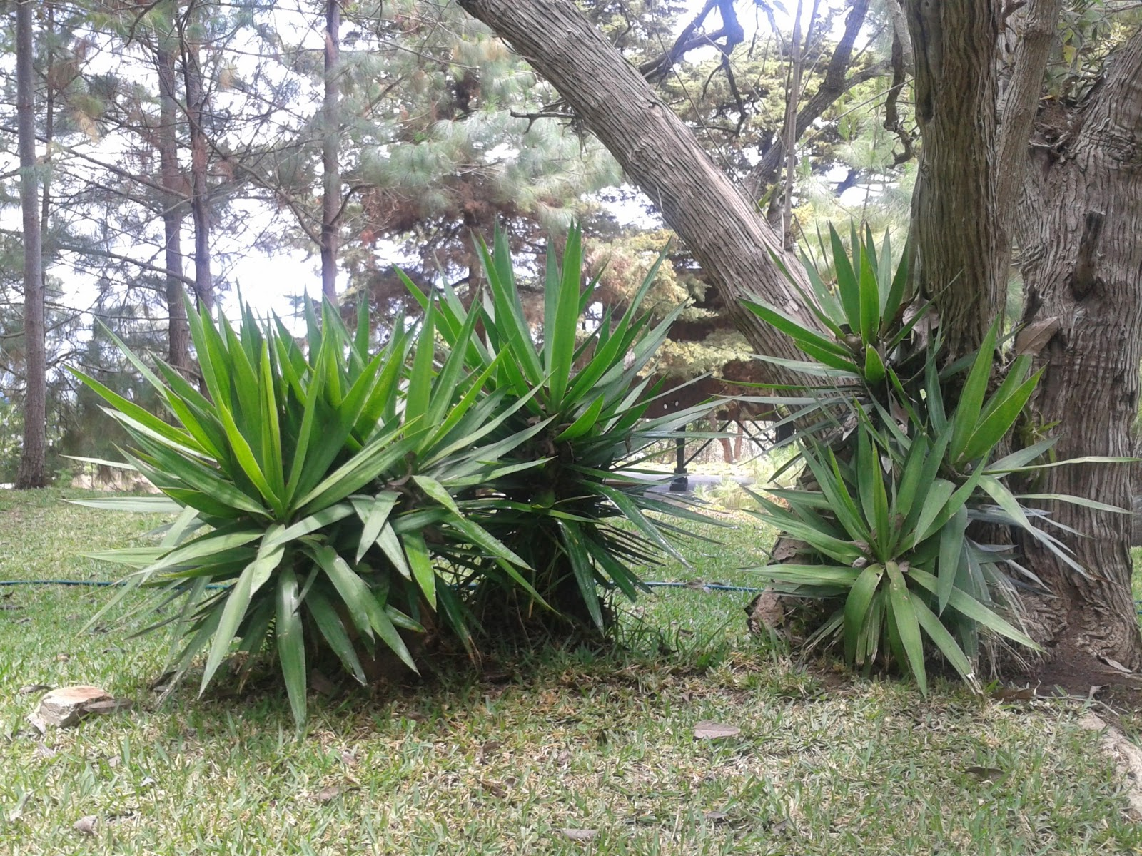 Mis notas del jard n flor de izote for Plantas de exterior chile