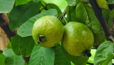 buah dan daun jambu biji