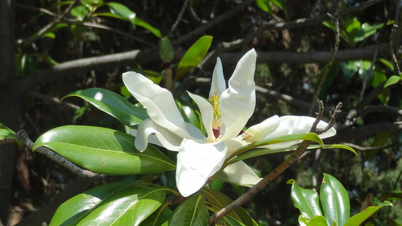 цъфтящо дърво Madam Tulip: Декоративни дървета, цъфтящи: вечнозелена магнолия цъфтящо дърво