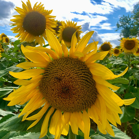 French Village Diaries the silent blogger sunflowers France