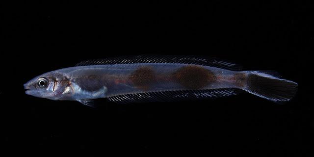 Larval fish of Tilefish