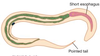 Praktikum Parasitologi Ciri-Ciri Nematoda, larva cacing tambang