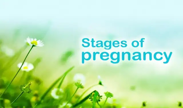 Stages of pregnancy 1st, 2nd, 3rd Trimester
