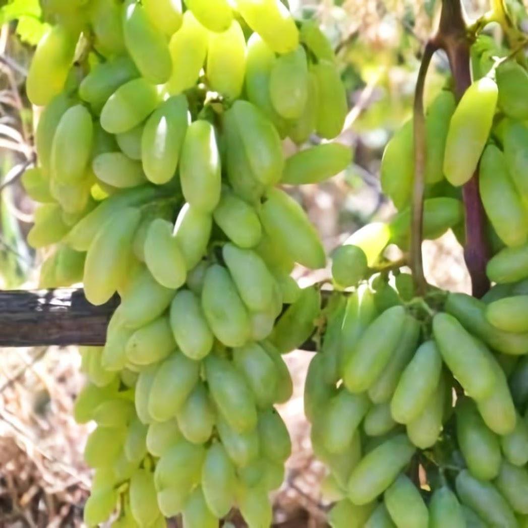 Bibit Tanaman Buah Anggur Import Husain White Ladies fingers Metro