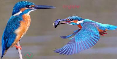 kingfisher bird, মাছরাঙ্গা