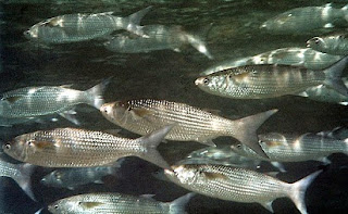 The Amazing Of Health Benefits Mullet Fish For Health - Healthy T1ps