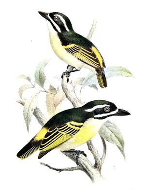 barbudito culigualdo Pogoniulus bilineatus