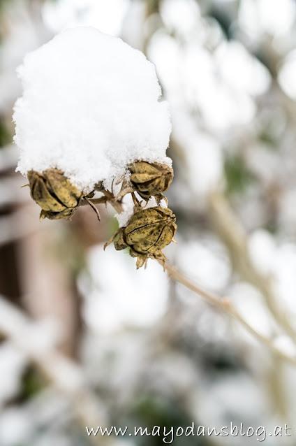 Hibiskusstrauch mit Schnee