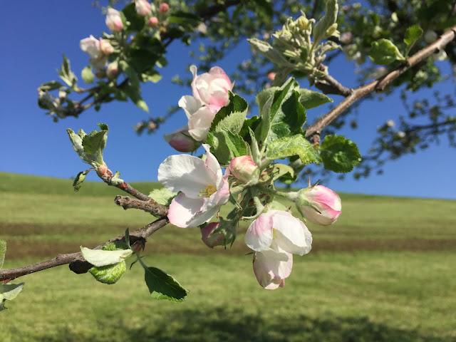 Kirschblüte von  nah