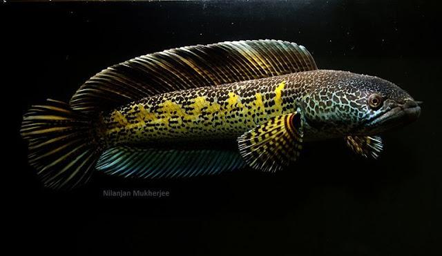 Ikan Toman Hias, ikan predator