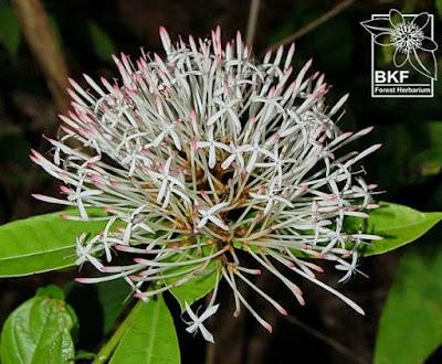 ดอกเข็มน้ำ (เข็มป่า) เข็มพื้นเมืองของไทย Ixora-nigricans