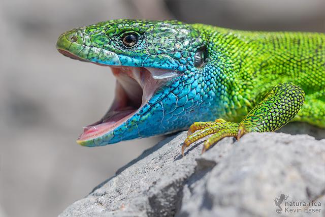Lacerta viridis - European Green Lizard