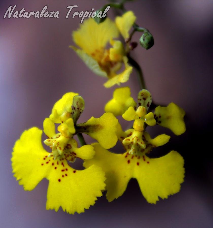 Flores de la orquídea Tolumnia guibertiana, conocida como Orquídea Bailarina