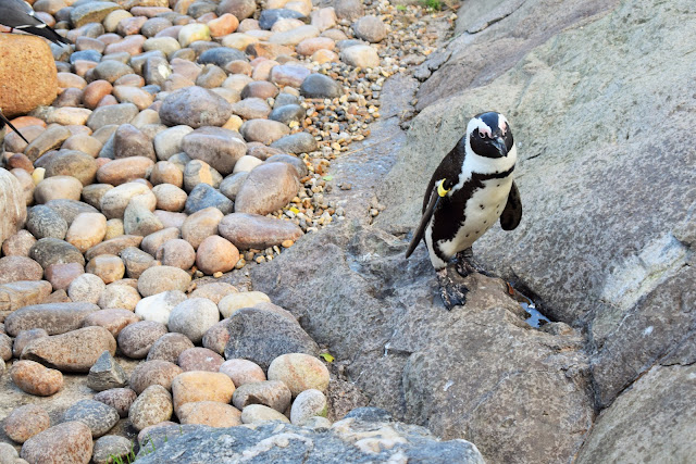 A penguin on the rocks.