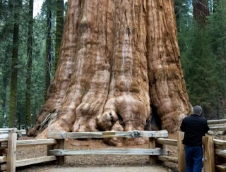 Pohon General Sherman – Pohon Sequoia