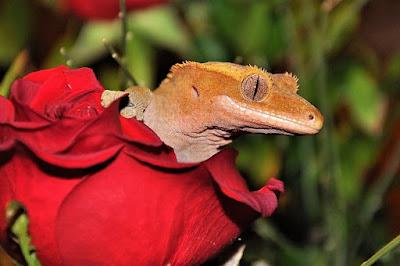 geco crestado mascota