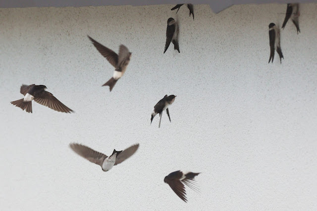 Mehlschwalben (Hirundu urbica)