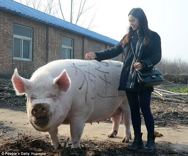 Porco gigante
